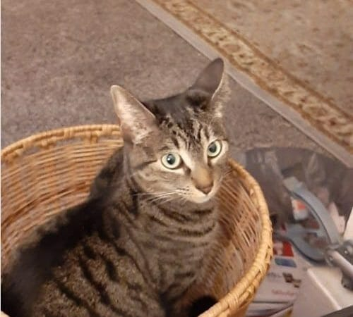 Biscuit Tabby Winner Cute Pet Photo June 2020 CatCuddles