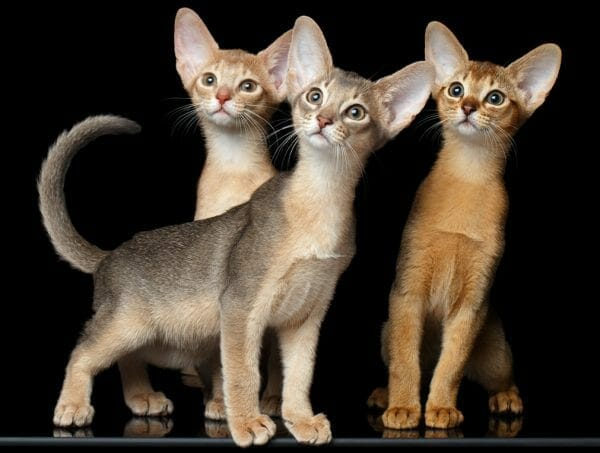 abyssinian cat colors - abyssinian