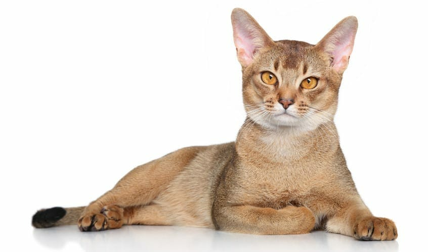 abyssinian cat - abyssinian cat breed