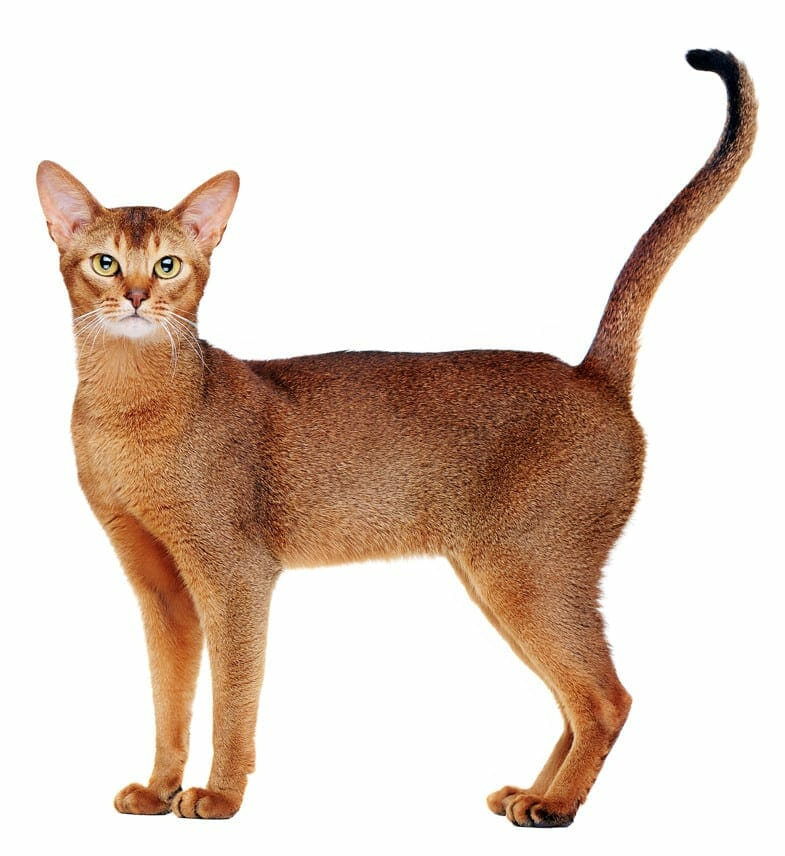 abyssinian cats - abyssinians
