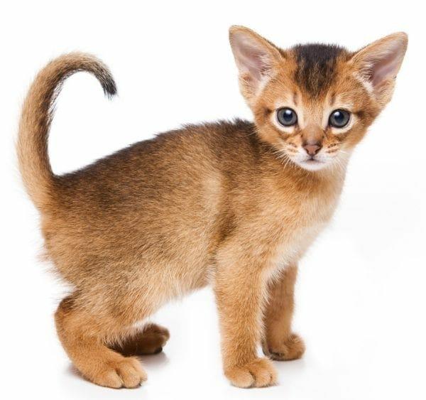 abyssinian kittens - abyssinian kitten