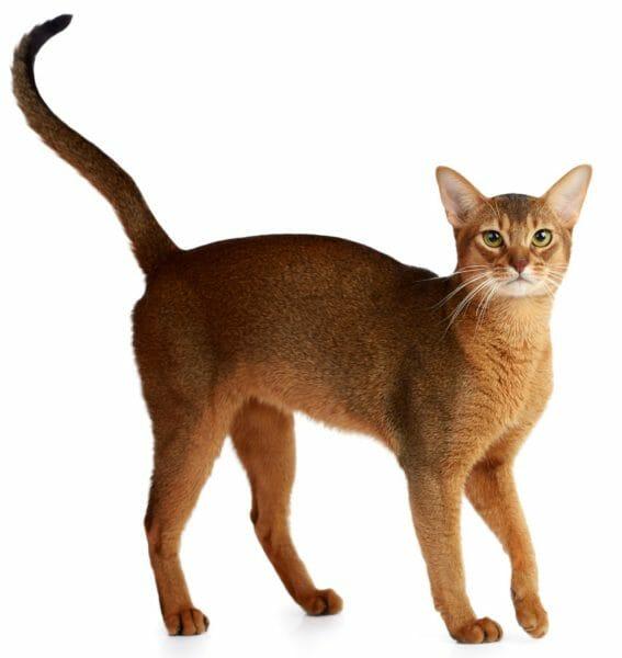 amyloidosis cats - amyloidosis symptoms in cats