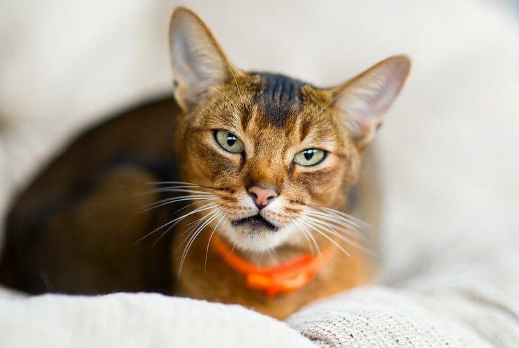 amyloidosis in cats - feline amyloidosis