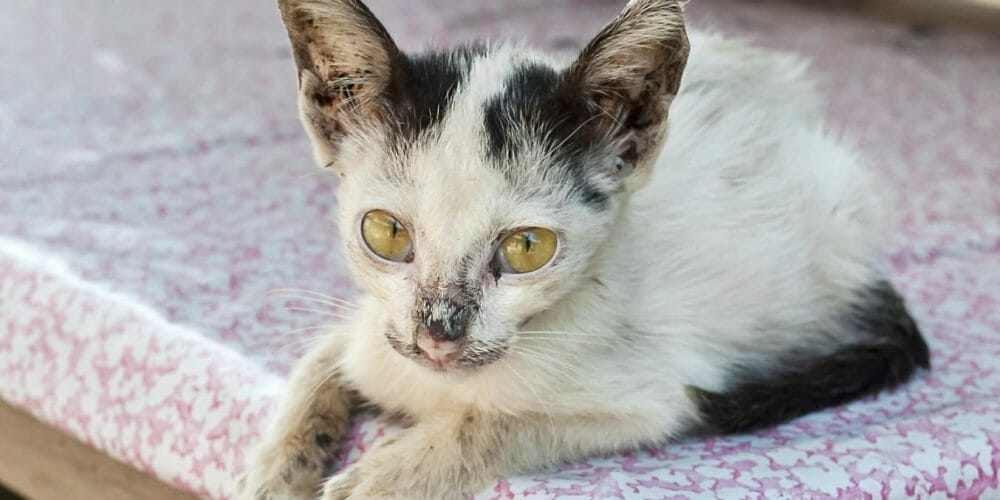 anemia in kittens