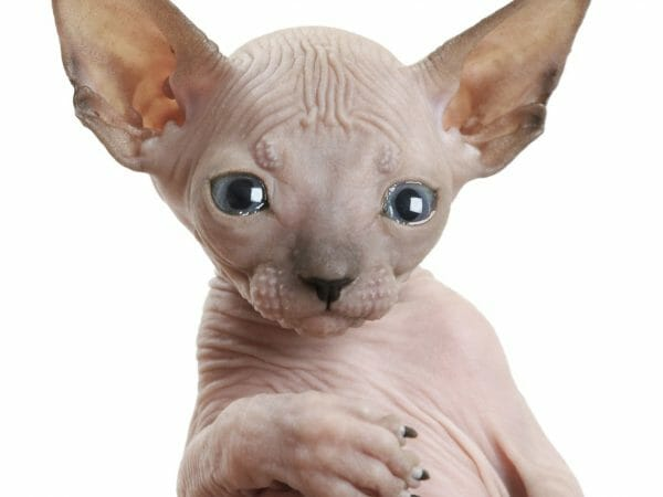 baby hairless kitten