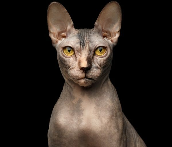 calico hairless cat