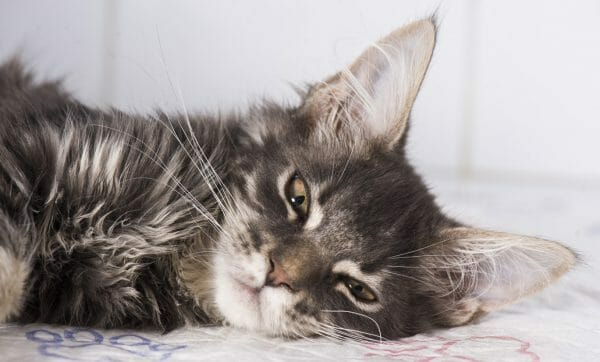 cat cancer symptoms - signs of cancer in cats