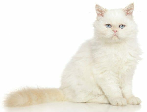 cat food for hyperthyroidism - hyperthyroidism in cats diet