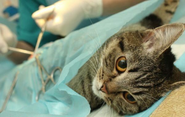 cat kidney stones - kidney stones in cats