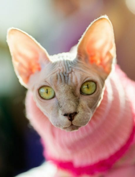 cute hairless cat