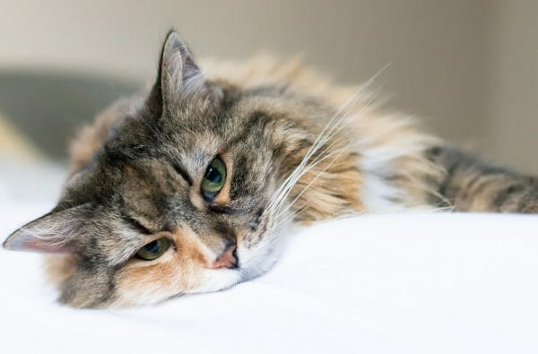 diabetic cat - diabetes symptoms in cats