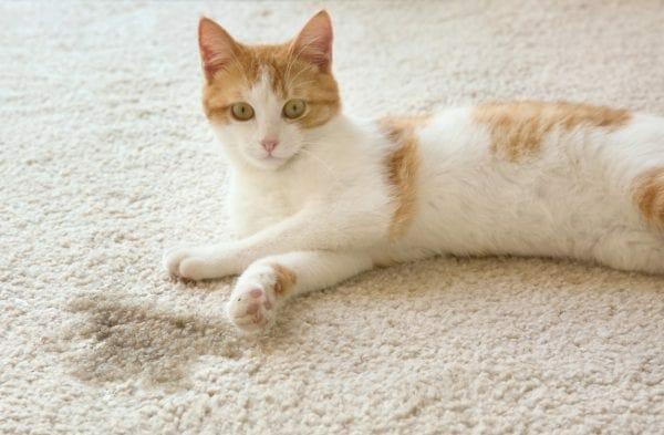 do female cats spray - female cat spraying