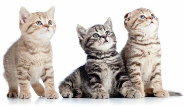 feline leukemia symptoms - is feline leukemia contagious