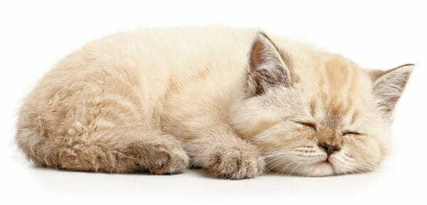 feline panleukopenia life cycle - feline panleukopenia treatment