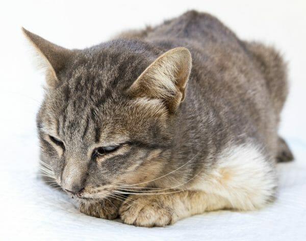 feline panleukopenia transmission - what is feline panleukopenia