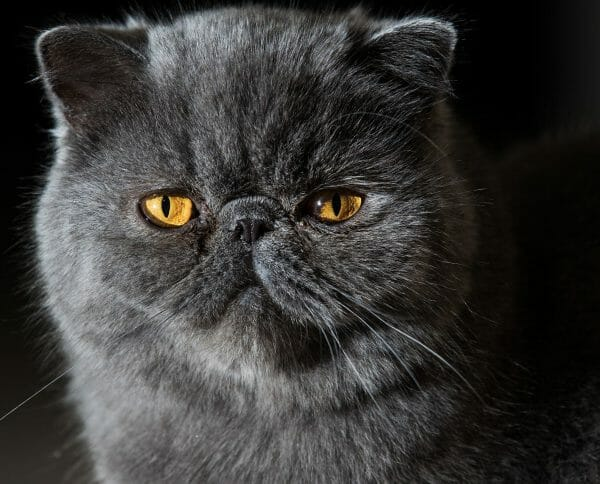 grey hair persian cat