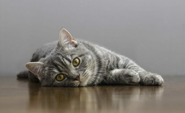 heartworm in cats - how to get rid of heartworms in cats