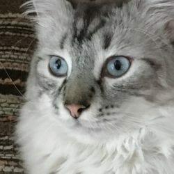 hudson ragdoll mix cat long hair grey silver nov 2020