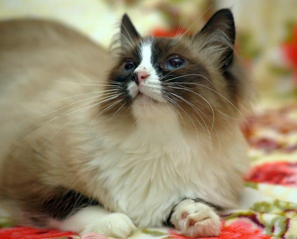 hypoallergenic balinese cat