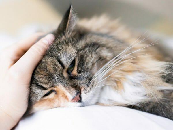 hypothyroidism in cats - cat hypothyroidism