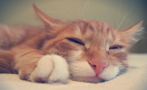 hypothyroidism in cats life expectancy - cat with hypothyroidism
