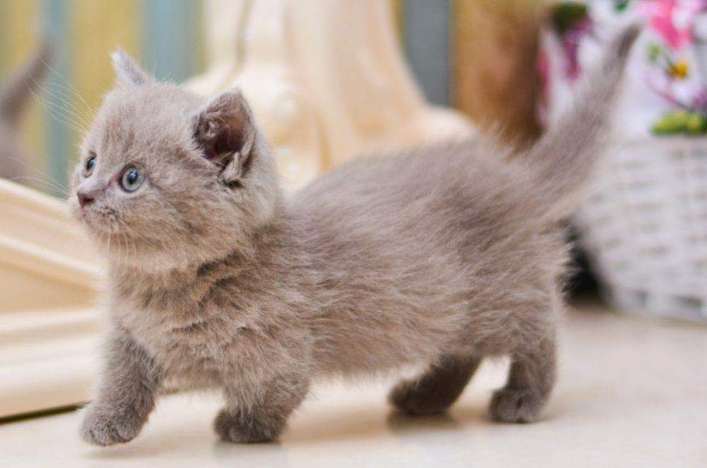 munchkin kitten - munchkin cat rescue