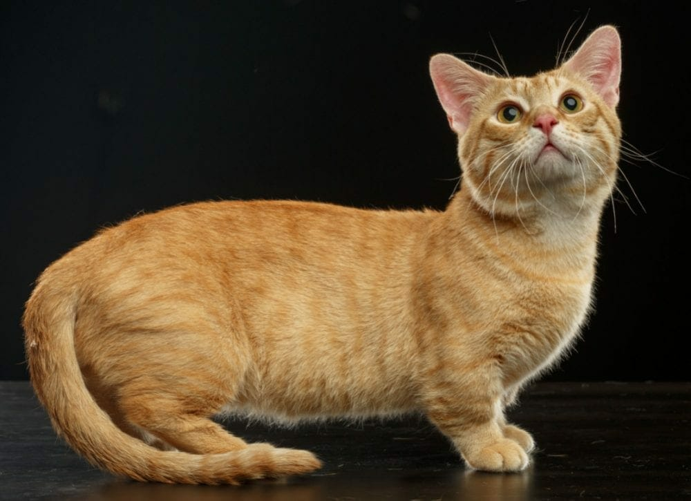 munchkin cats - cat munchkin