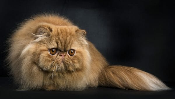 orange ginger persian cats