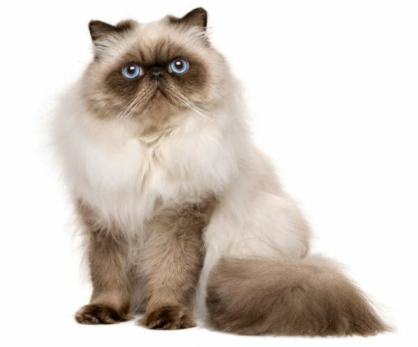 persian seal point balinese cats