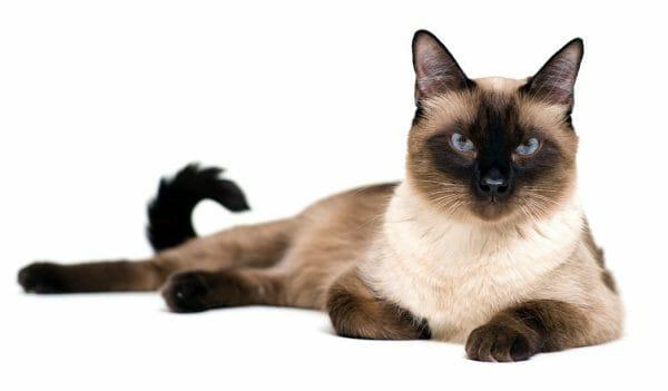 siamese cat amyloidosis - amyloidosis siamese cats