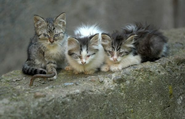 symptoms of anemia in cats