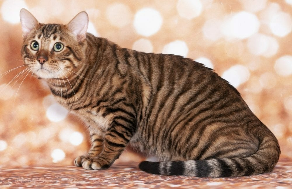 toyger cat - toyger cats