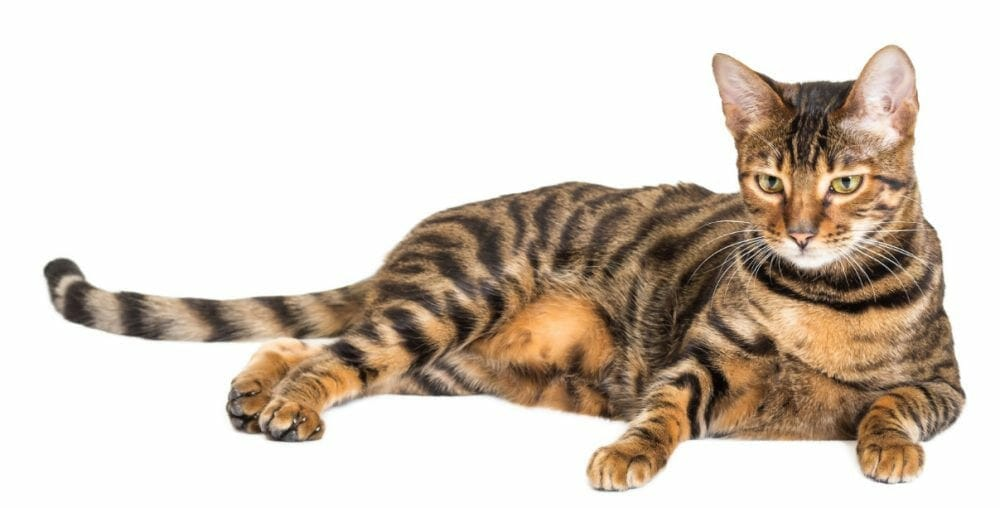 toyger cat breed - toyger tigers