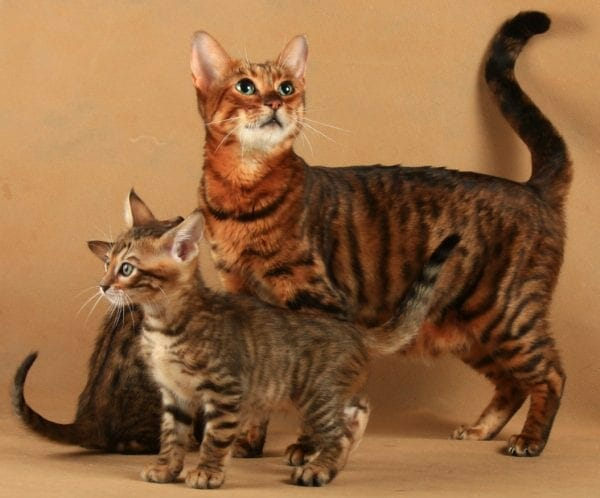 toyger cats - toygers