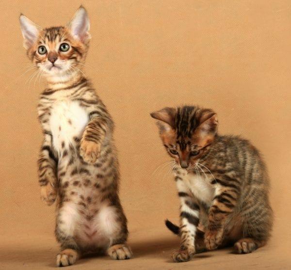 toyger kittens - toyger kitten