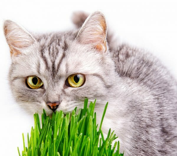 why do cats eat grass - why does my cat eat grass